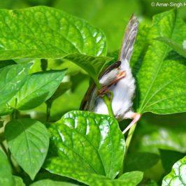 Common Tailorbird foraging