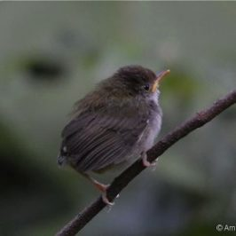 Common Tailorbird nesting – feeding and fledging behaviour