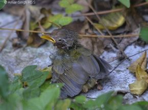 Common Tailorbird Nesting -Outcome of 2nd Juvenile