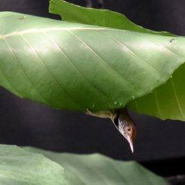 Common Tailorbird – nest building