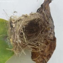 Common Tailorbird Nesting – Nest details