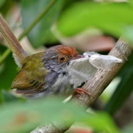 Common Tailorbird's Nest