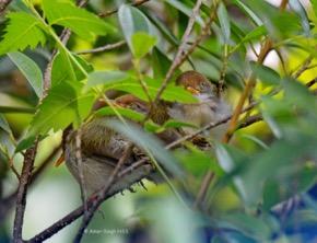 TailorbirdC-nesting [Amar] 4c