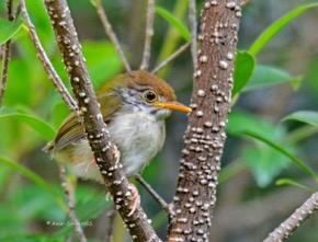 TailorbirdC-nesting [Amar] 4d
