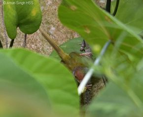 Common Tailorbird nesting