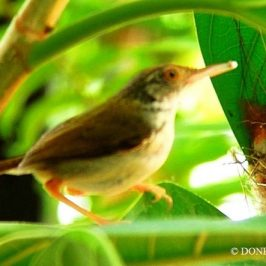 © Nesting Common Tailorbirds – One Full Circle Part 9