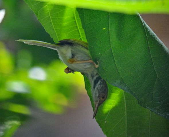 Delightfully fooled by Common Tailorbirds: 1. Male, sham nesting