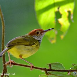 Dark-necked Tailorbird in NE Borneo