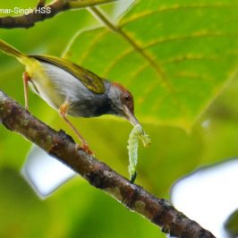 Dark-necked Tailorbird – prey for young