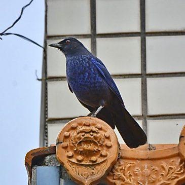 Birding in Taiwan: 6. Taiwan Whistling-thrush
