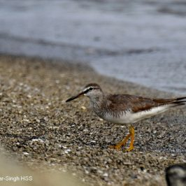East Hokkaidō's Grey-tailed Tattler