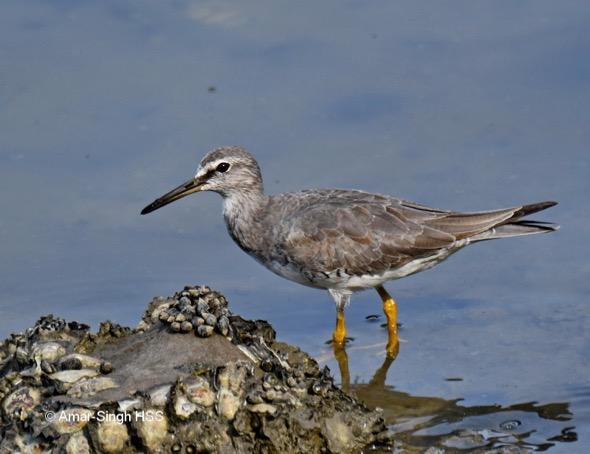 Developing breeding plumage