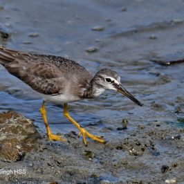 Grey-tailed Tattler: Plumages