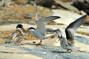 Feeding Little Tern chicks with a big fish