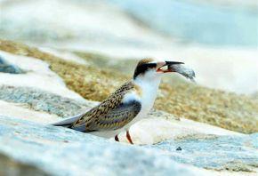 Feeding Little Tern chicks with a big fish