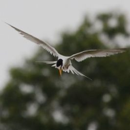Little Tern Hovering