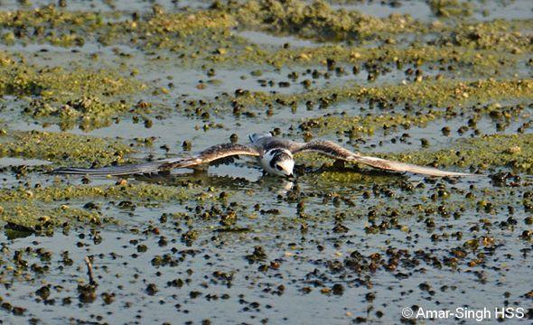 White-winged Tern – odd behaviour