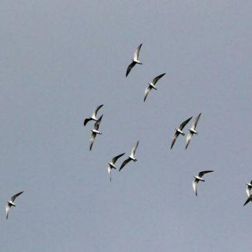 Migratory Terns: Flocking and Communal Bathing