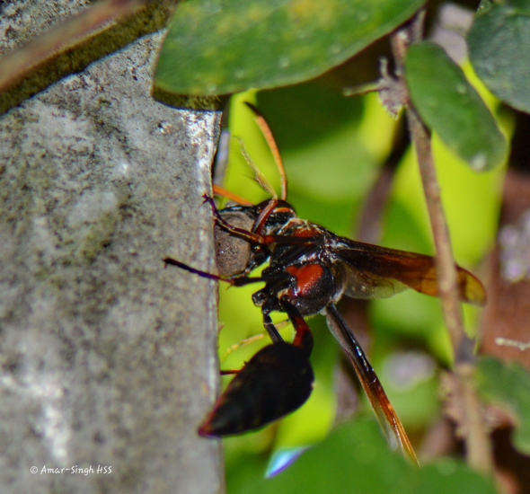 ThreadWaistedWasp-mud2nest [AmarSingh] 4