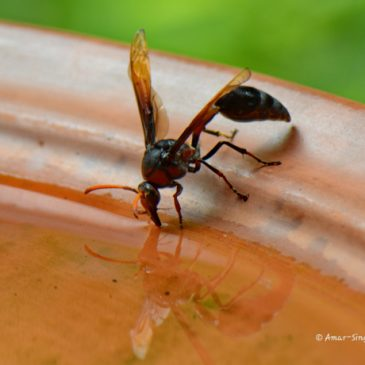 Why Does the Wasp 'Drink' So Much Water? The Mud Daubers