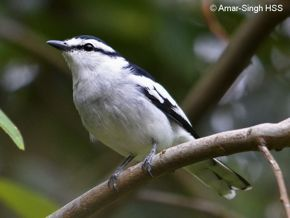 Call of the adult female Pied Triller