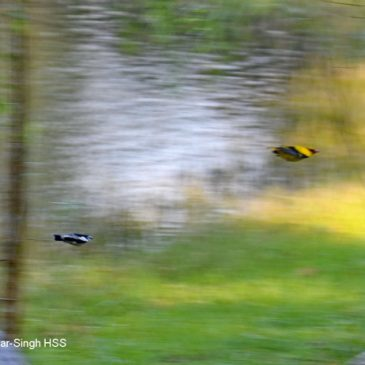 Pied Triller chasing Black-naped Oriole – nest protection behaviour