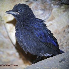 First day fledgling – Blue Whistling-thrush