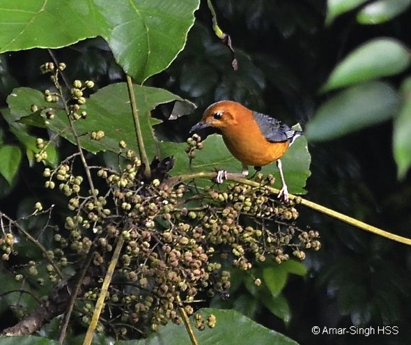 Birds feeding on fruits of a Macaranga sp.