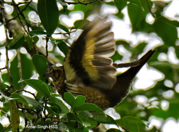 Siberian Thrush - underside of wing, while preening