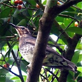 Confirmed Photographic Food Record of a Passage Migrant 2011. Siberian Thrush <em>Zoothera sibirica</em>