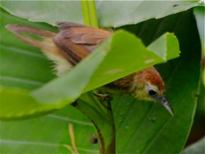 Pin-Striped Tit Babbler: Tail moult?