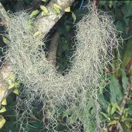 Plant-Bird Relationship: 13.  Bignoniaceae, Bombacaceae, Bromeliaceae, Caricaceae, Casuarinaceae and Combretaceae