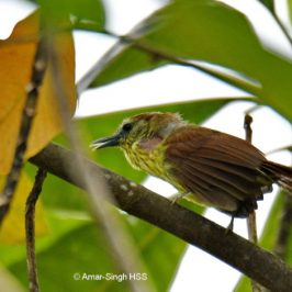 Pin-striped Tit-babbler – song