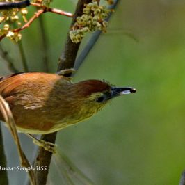 Pin-striped Tit-babbler – frugivorous behaviour