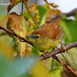 Pin-striped Tit-babbler – family group