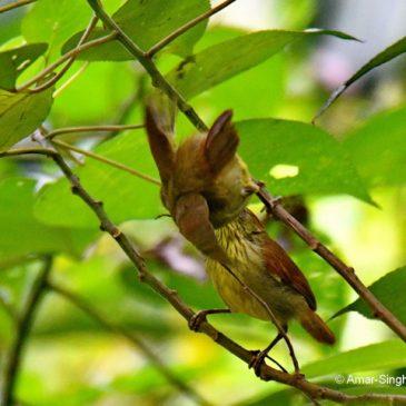 Pin-striped Tit-babbler – juveniles