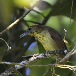 Pin-striped Tit-babbler – feeding behaviour or anting?