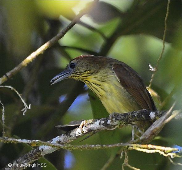 Pin-striped Tit-babbler – feeding behaviour or anting?