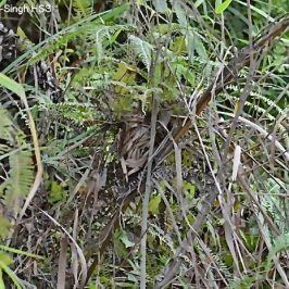 Pin-striped Tit-babbler: 3. Nest structure