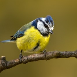 Nesting of the Common Blue Tit