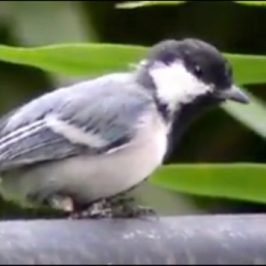 Cinereous Tit self-amputated its useless foot