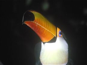 Mystery of the lost toucan solved