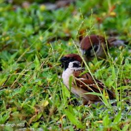 Eurasian Tree Sparrow eating grass seeds