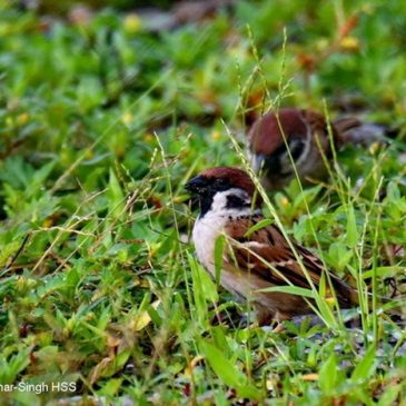 Eurasian Tree Sparrow eating grass seeds