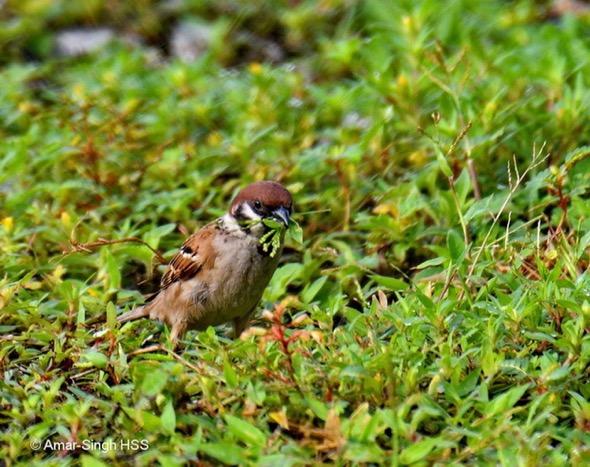 Tree-sparrowE-nesting material [AnarSingh]