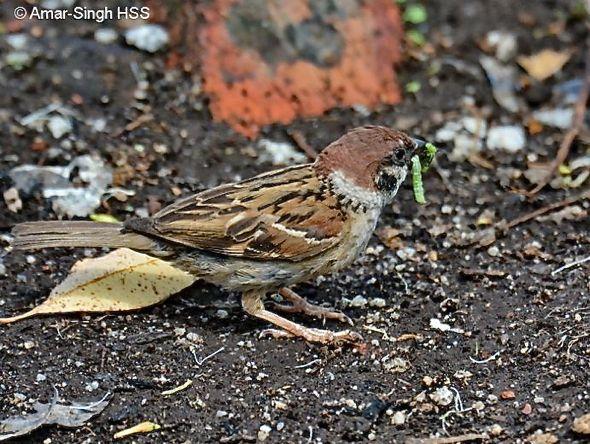 Eurasian Tree-sparrow: A juicy bite, then a bath