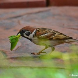 Eurasian Tree-sparrow with large insect prey