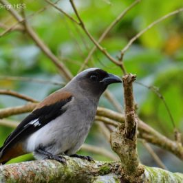 Grey Treepie of Hengchun Peninsula, Taiwan