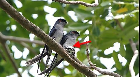 First report of Cooperative Breeding in Grey-rumped Treeswift