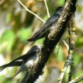 © Nest-building: Grey-Rumped Treeswifts.